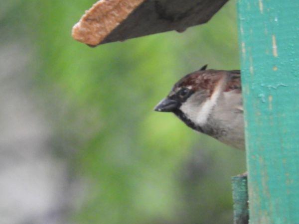 House Sparrow  - Jaume Compañó