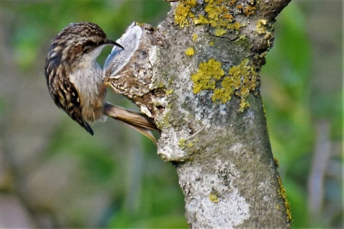 Short-toed Treecreeper  - Joan Sagrera Sagué