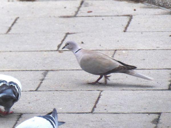 Eurasian Collared Dove  - Miquel Casas