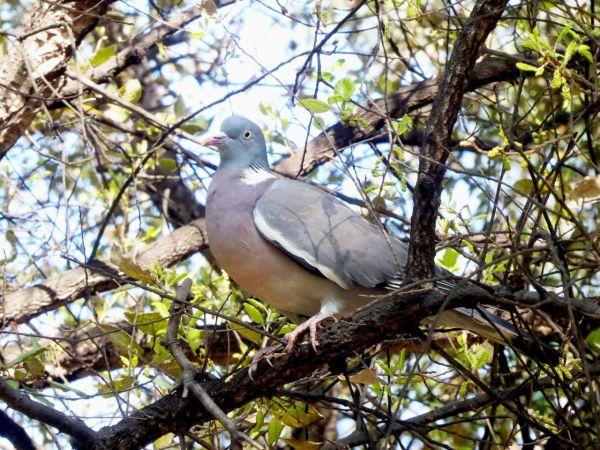 Common Wood Pigeon  - Miquel Casas
