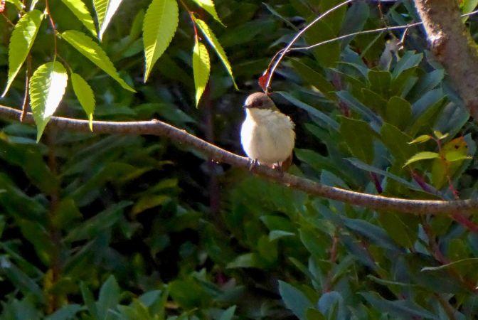 Sardinian Warbler  - Miquel Casas