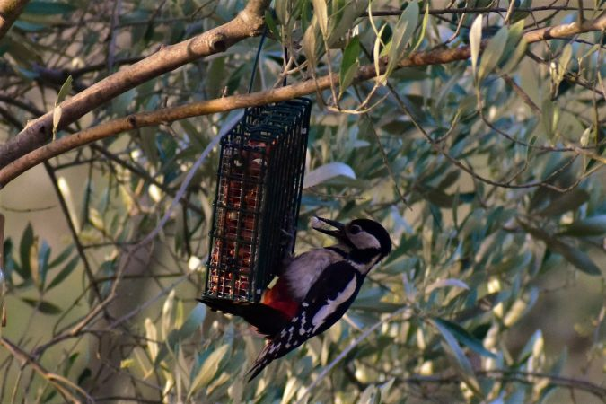 Great Spotted Woodpecker  - Joan Sagrera Sagué