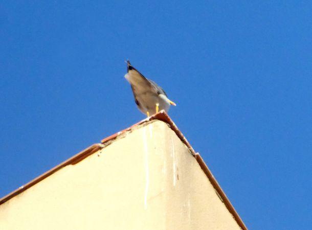 Yellow-legged Gull  - Miquel Casas