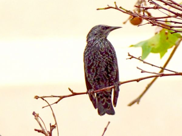 Spotless / Common Starling  - Miquel Casas
