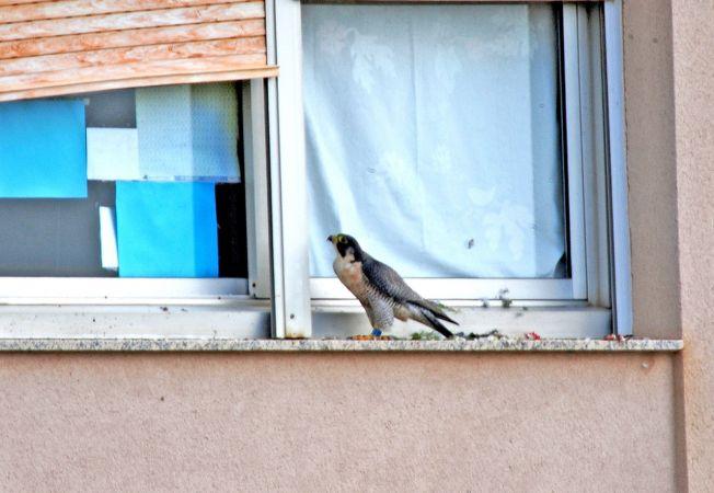 Peregrine Falcon  - Miquel Casas