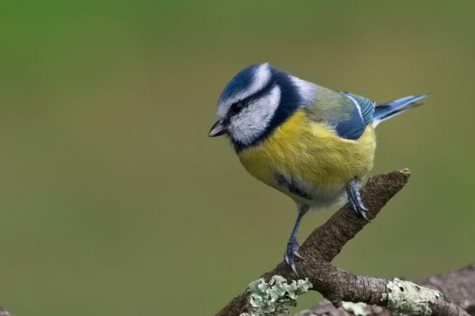 Mésange bleue  - David Cousson