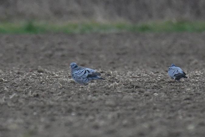 Pigeon colombin  - Roger Soudagne