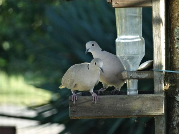 Eurasian Collared Dove  - Virginie Borrmann