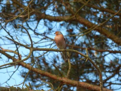 Pinson des arbres  - Marie-Laure Niogret