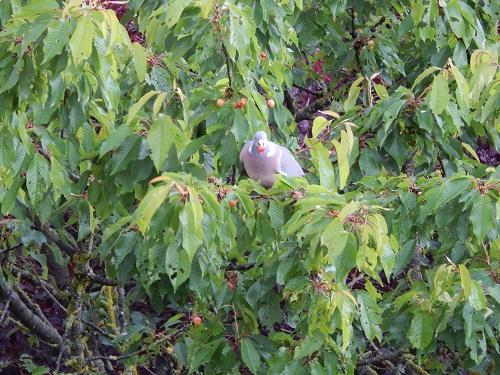Pigeon ramier  - Marie-Laure Niogret