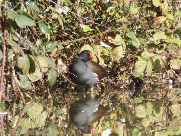 Gallinule poule-d'eau  - Magali Hivert