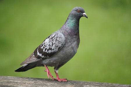 Pigeon biset domestique  - Eric Thomas