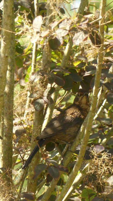 Common Blackbird  - Flo Moinet
