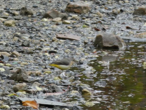 Bergeronnette des ruisseaux  - Magali Hivert