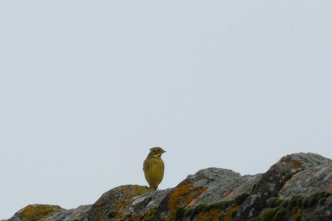 Bruant jaune  - Magali Hivert