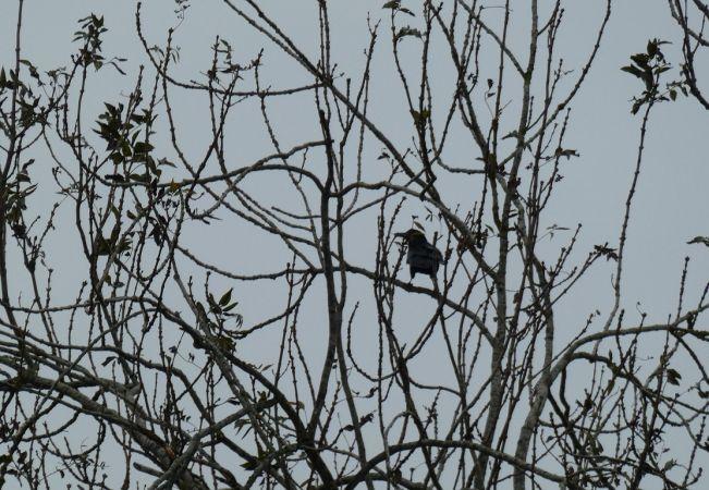 Corbeau freux  - Magali Hivert