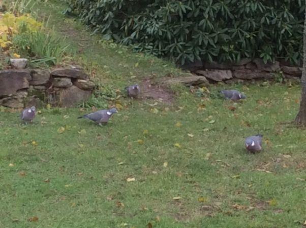 Pigeon ramier  - Gilbert Brossard
