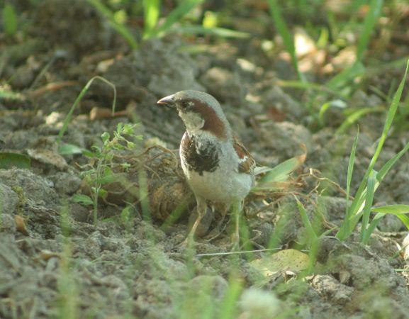 House Sparrow  - Florence Lachartre