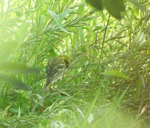 Yellowhammer  - Florence Lachartre
