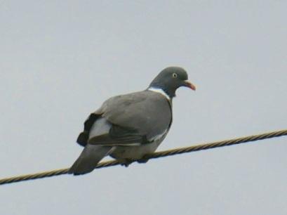 Pigeon ramier  - Céline Sicot