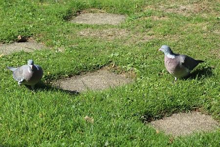 Pigeon ramier  - Jean-Michel Martin