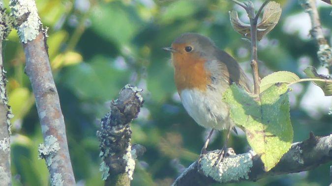 European Robin  - Flo Moinet