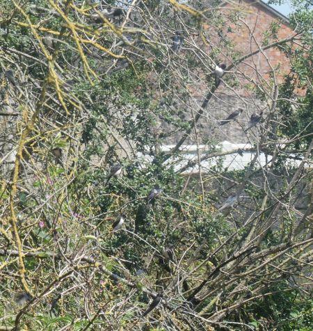 Hirondelle rustique  - Magali Hivert