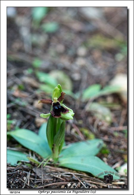 Ophrys passionis  - Michel Pinaud