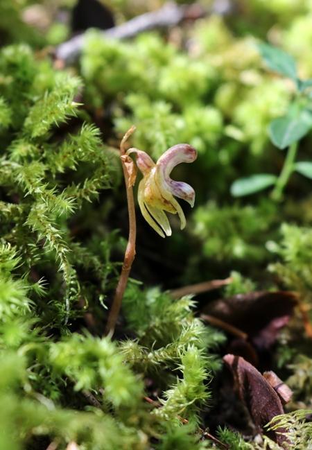 Epipogium aphyllum  - Albert Galzin