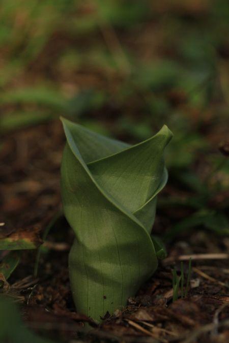 Himantoglossum hircinum  - Ghislain Constans(SFOAu)