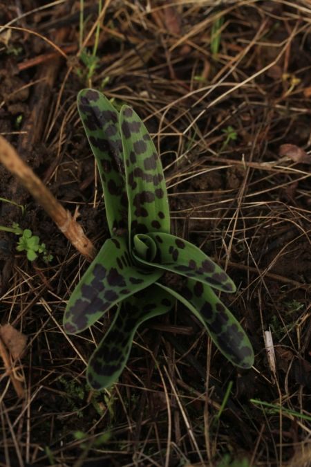 Orchis mascula  - Ghislain Constans(SFOAu)