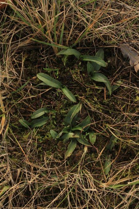 Ophrys apifera  - Ghislain Constans(SFOAu)