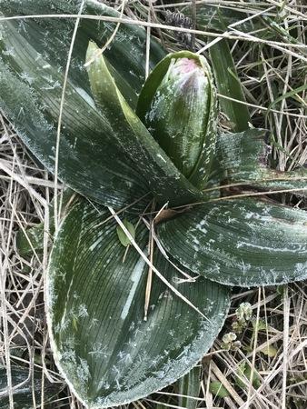 Himantoglossum robertianum  - Nadine Duche