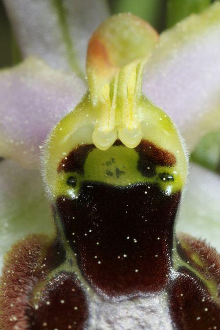 Ophrys splendida  - Christian Fleury(SFOL)