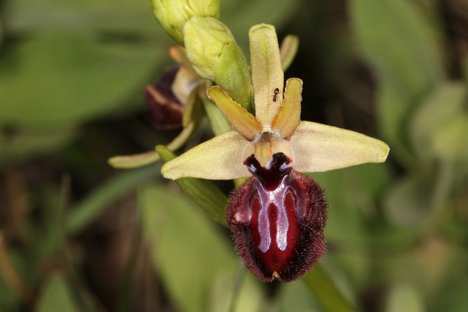 Ophrys incubacea  - Christian Fleury(SFOL)