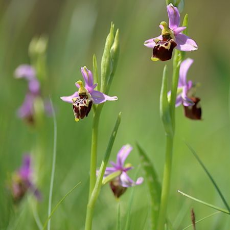 Ophrys druentica  - Jean-Philippe Anglade