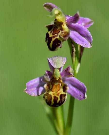 Ophrys apifera var. botteronii  - Gilles Grobel