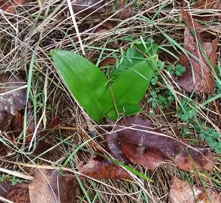 Himantoglossum hircinum  - Jacques Gilardin