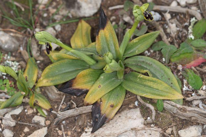 Ophrys delforgei  - Christian Fleury
