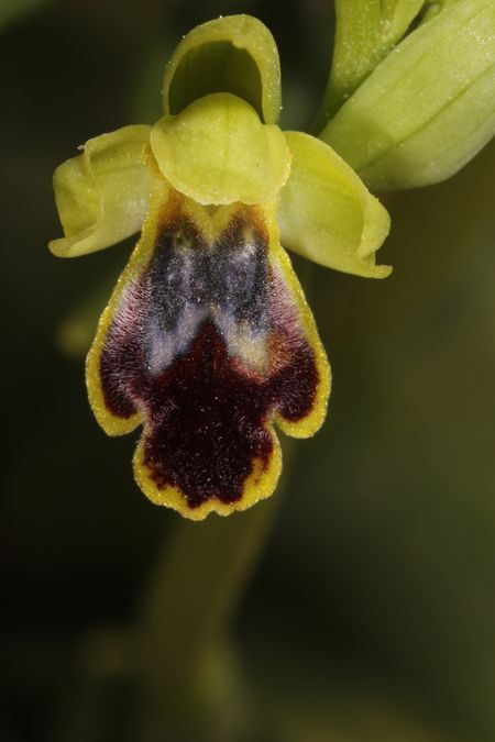 Ophrys delforgei  - Christian Fleury