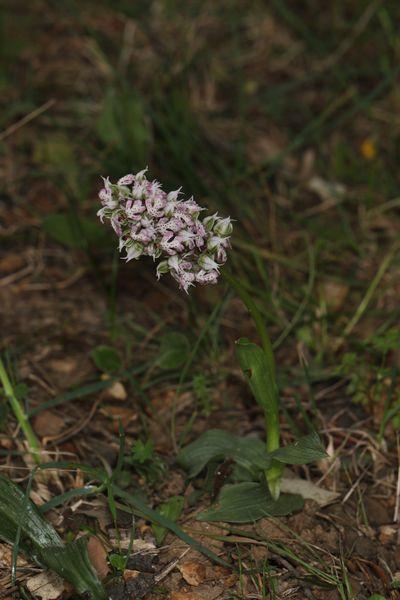 Neotinea lactea  - Christian Fleury