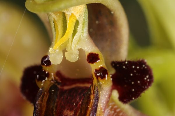 Ophrys speculum  - Christian Fleury