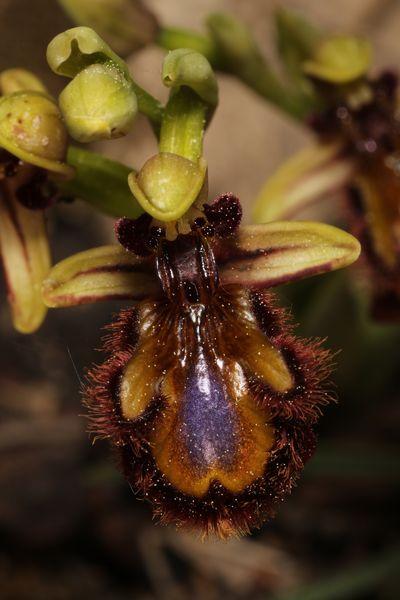 Ophrys speculum  - Christian Fleury