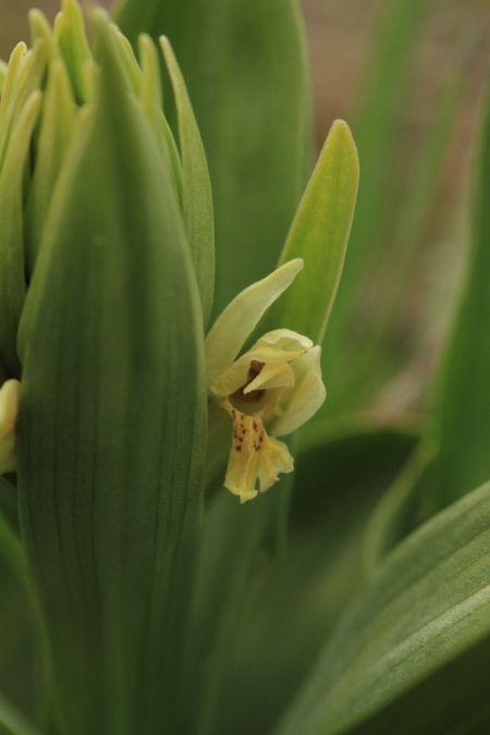 Dactylorhiza sambucina  - Ghislain Constans