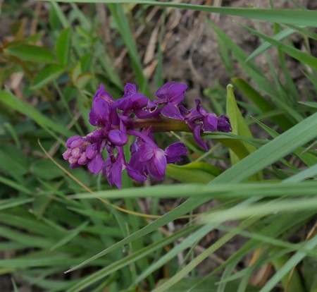 Orchis mascula  - Jacques Gilardin