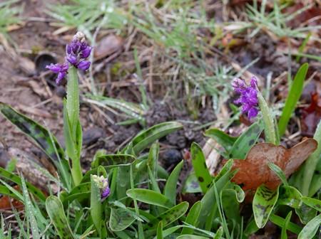 Orchis mascula  - Jacques Gilardin