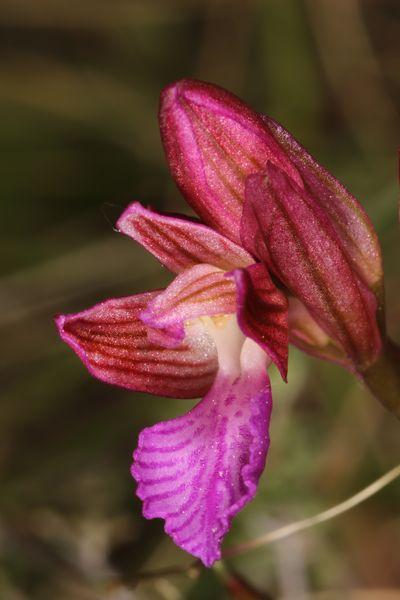 Anacamptis papilionacea  - Christian Fleury