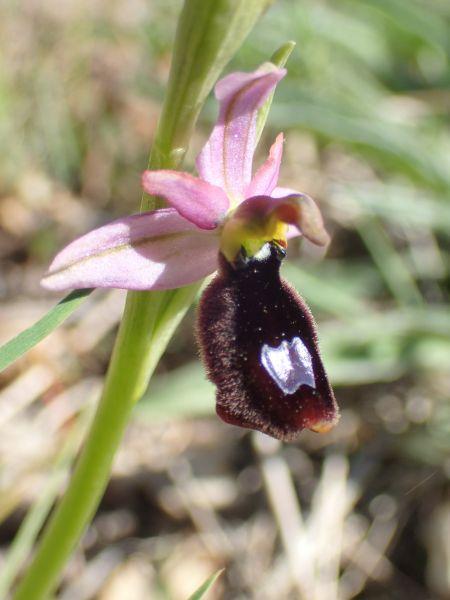 Ophrys aurelia  - Bruno Daviet