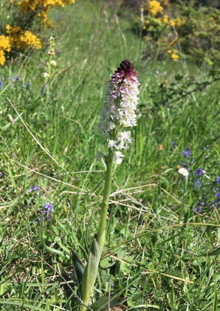 Neotinea ustulata subsp. aestivalis  - Christian Gidon