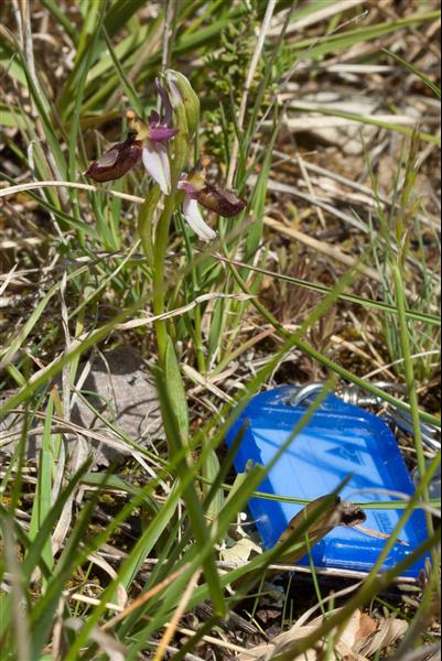 Ophrys drumana  - Richard Fay